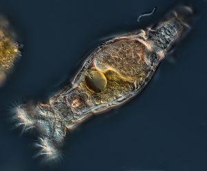 rotifer